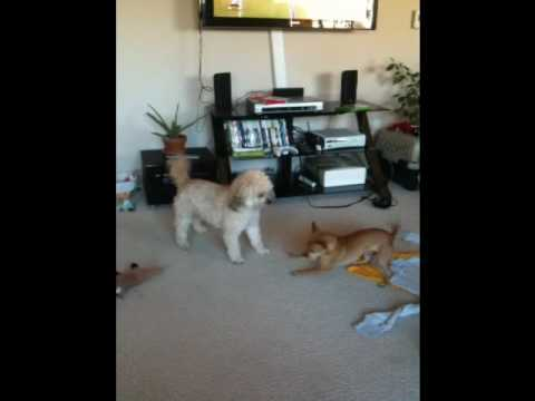 Toby and Nina – Bichon and deer chihuahua playing