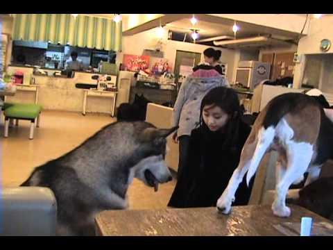 Cafés con mascotas de compañía momentáneas en Seúl (Corea)