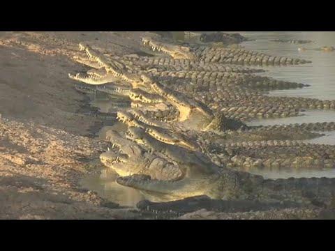 Ισραήλ: Εκατοντάδες κροκόδειλοι περιμένουν να μάθουν το μέλλον τους…