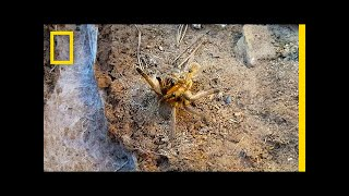 """Death and getting stabbed in the face are risks this male tarantula must brave to mate.➡ Subscribe: http://bit.ly/NatGeoSubscribeAbout National Geographic:National Geographic is the world's premium destination for science, exploration, and adventure. Through their world-class scientists, photographers, journalists, and filmmakers, Nat Geo gets you closer to the stories that matter and past the edge of what's possible.Get More National Geographic:Official Site: http://bit.ly/NatGeoOfficialSiteFacebook: http://bit.ly/FBNatGeoTwitter: http://bit.ly/NatGeoTwitterInstagram: http://bit.ly/NatGeoInstaCourtship between two giant baboon tarantulas comes with the risk of injury and death for the male. This rare video begins with the male shaking his legs, a sign that the tarantulas are preparing to mate. Then, the male approaches cautiously, since many females spiders will eat their partner. The female also could potentially bite into the male's face during mating, which goes to show that tarantula sex can be risky business.Read """"Watch Baboon Spiders Mate in Rare Video.""""http://news.nationalgeographic.com/2017/07/tarantula-spiders-mating-sex-south-africa-spd/Watch a Male Tarantula Risk Death for Sex  National Geographic https://youtu.be/jB73ENR83YgNational Geographichttps://www.youtube.com/natgeo"""