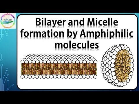 Bilayer and Micelle formation by Amphiphilic molecules