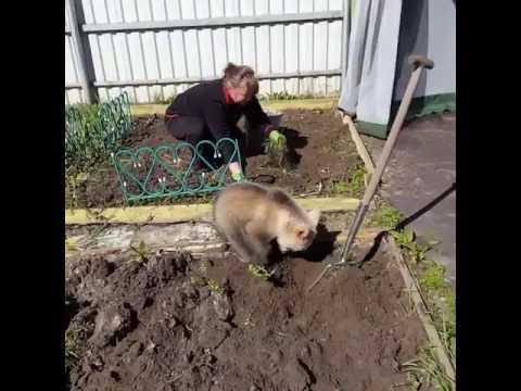 Niedźwiadek pomaga kobiecie w ogródku