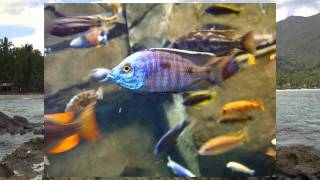 African Cichlids Book YouTube video