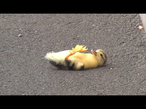 Duck lose their baby - you will cry 😢 (... but we saved the baby 😉👍)