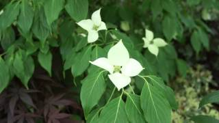 #725 Chelsea Flower Show 2012 - Cornus kousa China Girl