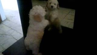 Perro Caniche Toy Poodle Pelando Con El Espejo