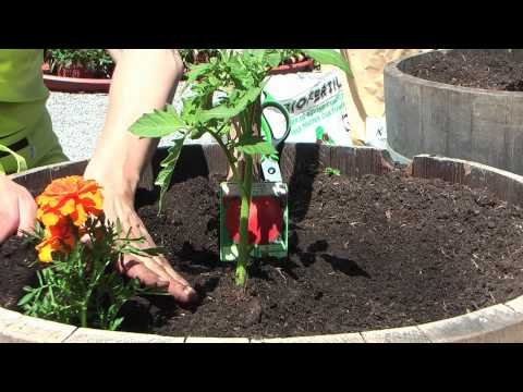 Comment R Ussir Ses Cultures De Tomates Conseils Du Jardin De Balgan Hd Free Video And