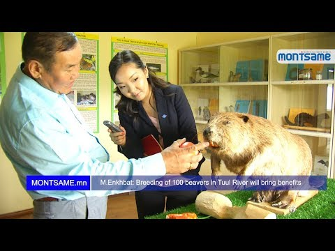 M.Enkhbat: Breeding of 100 beavers in Tuul River will bring benefits