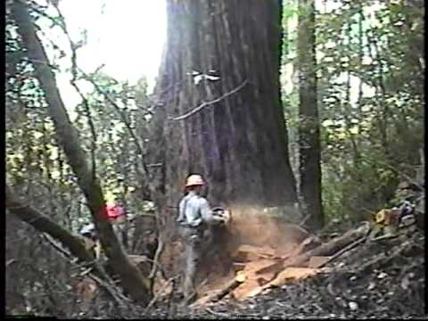 redwood - California Redwood that I fell in Humboldt County in spring of '02. 9 feet inside bark diameter; 33000 board feet, only 130 feet tall because the top had bl...