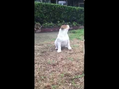 呆呆的英國鬥牛犬第一次遇到下雨天,牠超困惑的反應讓萌度瞬間暴衝100%啊!