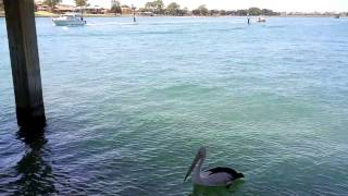 Pelican under Old Mandurah Bridge