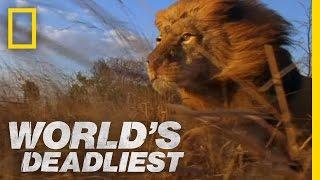 Lion Pack vs. Buffalo | World's Deadliest