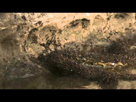 活蟒被螞蟻生吞活剝