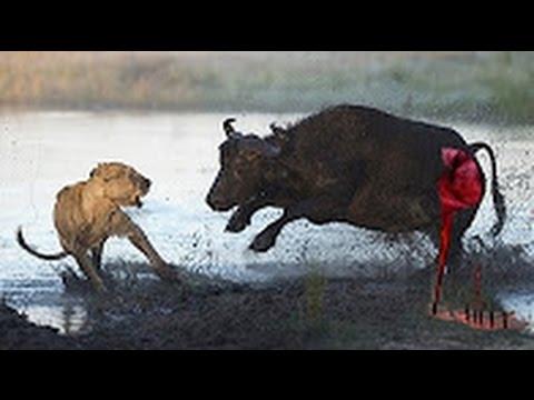 5 Lions Attack 1 Buffalo   Lion vs Buffalo 2016