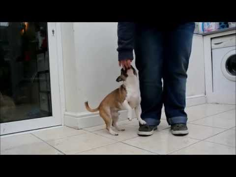 Elmo Staffy x Chihuahua – Rainy Day Trick Training