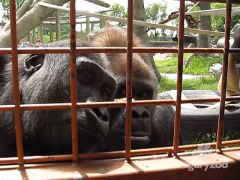 Calgary Zoo's Gorillas fascinated by a Caterpillar