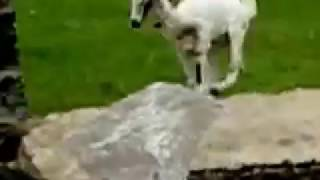Amazing Goat On Vertical Wall