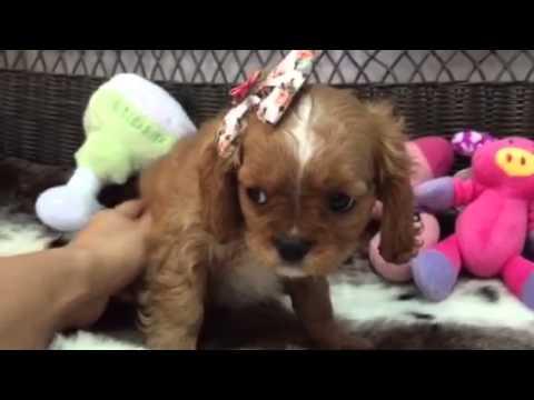 weetest little ruby cavalier puppy