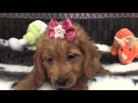 Friendly, loving, Mini-goldendoodle