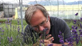 #449 Verschiedene Düfte bei Lavendelsorten