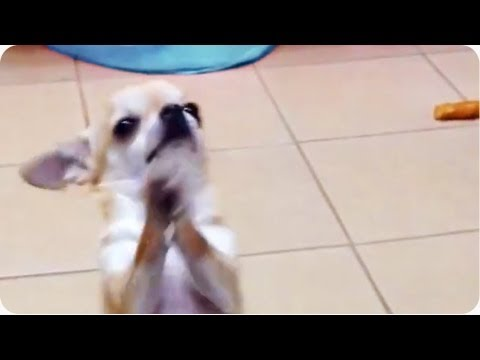 Chihuahua Dances On Hind Legs