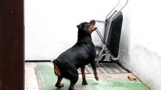 Cão de Guarda - Rottweiller