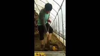 NẤM THƯỢNG HOÀNG Nấm Thượng Hoàng Hàn Quốc – là loại nấm mọc trên gỗ cây dâu tằm rất quý có hình dáng giống cái móng màu vàng tươi hoặc nâu sẫm có tác dụng r...
