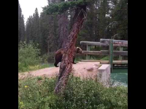 Grizzly Bear in Banff!!!