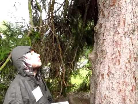 Bastis Beste Bäume - Die Gemeine Fichte