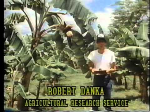 Africanized Bee Alert  1985