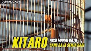 Video MB KITARO Sang RAJA SENJA HARI Beraksi Di JAYAKARTA CUP 2018 MP3, 3GP, MP4, WEBM, AVI, FLV Maret 2018