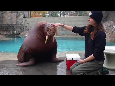 Marine animal trainer has an amazing relationship with her walrus