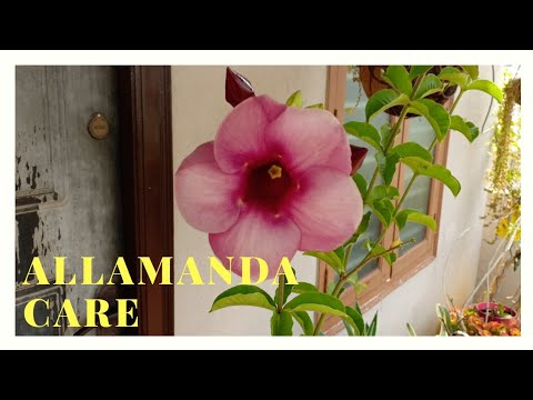 All about Allamanda and its care | Get more blooms in Allamanda or Yellow Bell