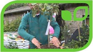 Wie topft man eine Zitruspflanze um