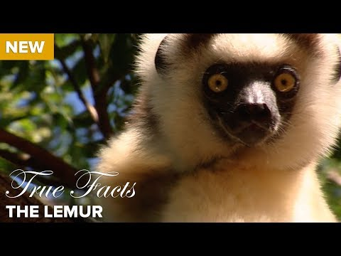 True and Funny Facts About the Lemur