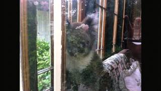 Portland Australia  city photos gallery : Koala visits Victoria House Portland, Australia