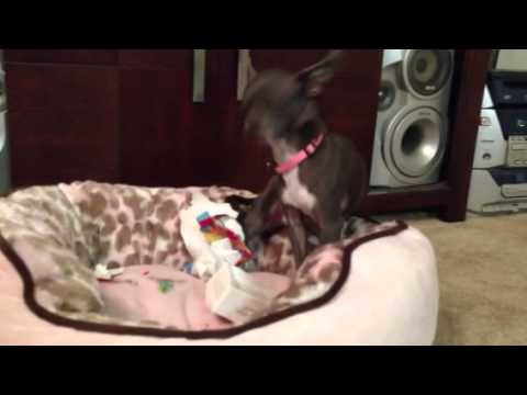 Baby bleu chihuahua  opens Christmas present