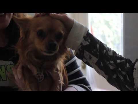 Ruffles: The Cutest Howling Chihuahua!