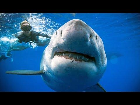 Riesiger weißer Hai vor der Küste Hawaiis gesichtet