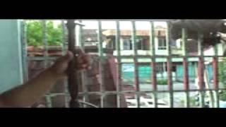 rebaban Srepeg Tlutur