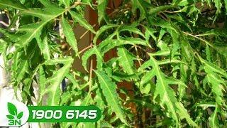 Trồng trọt | Chứng bệnh thối gốc rễ trên cây đinh lăng chữa thế nào?