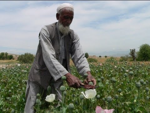 how to harvest poppies for opium