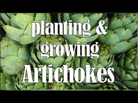 Planting and Growing Artichokes - growing requirements