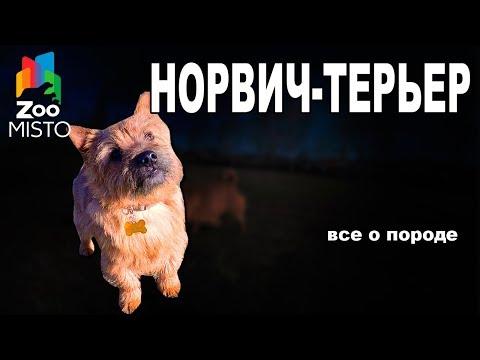 Норвич-терьер - Все о породе собаки