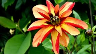 A Look at Chimeric Type Dahlia