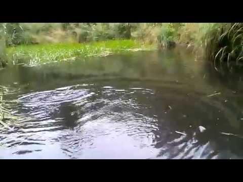 Kilone jõeforell leechiga