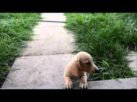 Alvin Cream Male Miniature Dachshund Puppy for sale