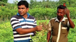 বাদাম চাষ-Groundnut(বিনা...
