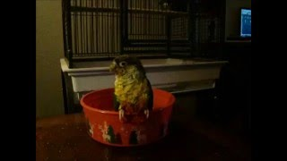 A short video I recording of my green cheek conure taking a bath and stuff because I thought it would make a neat upload and stuff.