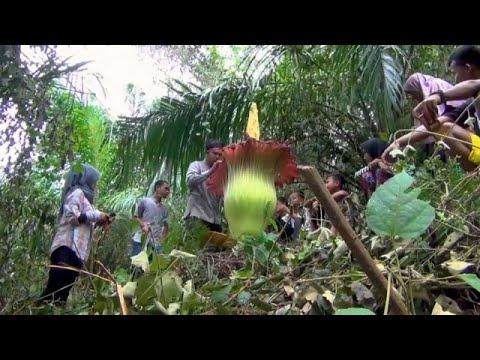 Indonesien: 3 Meter hohe Titanwurzblüte verblüfft Bauer